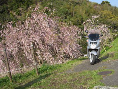 しだれ桜とバイク