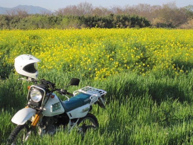 菜の花の平原